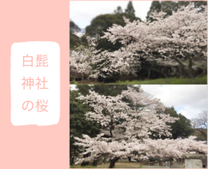 古賀市薬王寺温泉エリア白髭神社の桜