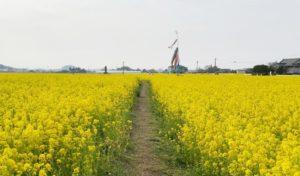 古賀市筵内なの花の道