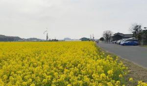 駐車場到着後に見える筵内菜の花畑